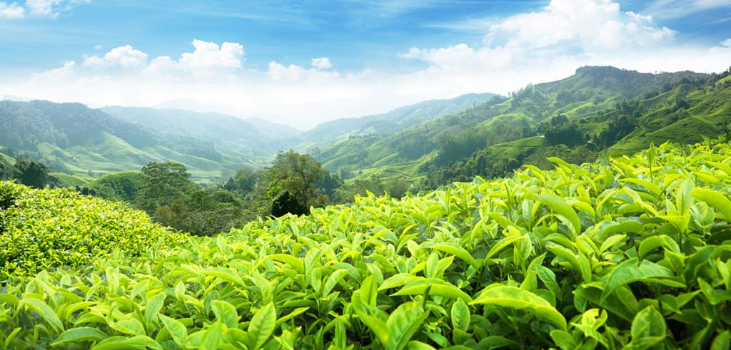 На фото чайная плантация