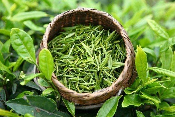 Почему тошнит от зеленого чая
